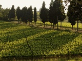Grape Vines and Cypress Trees in Spring in Tuscany Photographic Print by Herbert Lehmann