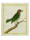 Brown-Headed Barbet Giclee Print by Georges-Louis Buffon