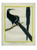 Le Grand Promérops De Nouvelle-Guinée Giclee Print by Georges-Louis Buffon
