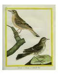 Short-Toed Lark and Pipit Reproduction procédé giclée par Georges-Louis Buffon