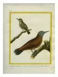 Green-Barred Woodpecker and Grey Woodpecker Giclee Print by Georges-Louis Buffon