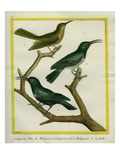 Nuthatch Vanga and Green Jery and its Female Giclee Print by Georges-Louis Buffon
