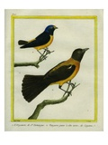 Antillean Euphonia and Black-Headed Oriole Reproduction procédé giclée par Georges-Louis Buffon