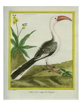 Red-Billed Hornbill Impression giclée par Georges-Louis Buffon