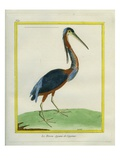 Agami Heron Giclee Print by Georges-Louis Buffon