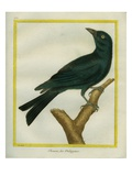 Jackdaw Giclee Print by Georges-Louis Buffon