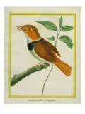 Black-Collared Barbet Giclee Print by Georges-Louis Buffon