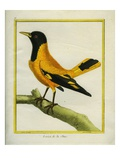 Chinese Oriole Reproduction procédé giclée par Georges-Louis Buffon