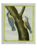 Nuthatch and Red-Breasted Nuthatch Reproduction procédé giclée par Georges-Louis Buffon