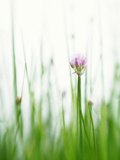 Flowering Chives Photographic Print by  Kr&#246;ger &amp; Gross