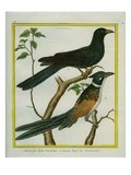 Asian Koel and Chestnut-Winged Cuckoo Reproduction procédé giclée par Georges-Louis Buffon