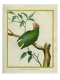 Male Red-Headed Lovebird Reproduction procédé giclée par Georges-Louis Buffon