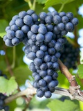 Red Wine Grapes (Variety Blaufränkisch) on the Vine Photographic Print by Herbert Lehmann