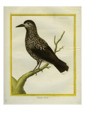 Spotted Nutcracker Giclee Print by Georges-Louis Buffon