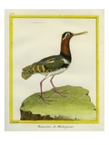 Madagascar Snipe Reproduction procédé giclée par Georges-Louis Buffon