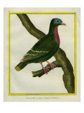 Claret-Breasted Fruit-Dove Giclee Print by Georges-Louis Buffon