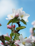 Apple Blossom on the Tree Reproduction photographique par Chris Schäfer