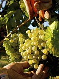 Pickling White Wine Grapes (Variety Grüner Veltliner) Photographic Print by Herbert Lehmann