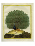 Peafowl Giclee Print by Georges-Louis Buffon