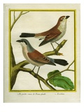 Female Isabelline Shrike and Red-Backed Shrike Giclee Print by Georges-Louis Buffon