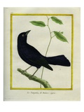 Great-Tailed Grackle Giclee Print by Georges-Louis Buffon