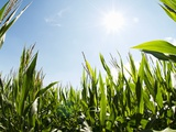 A Corn Field in the Sun Photographic Print by Alexander Feig