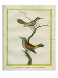 Common Treecreeper and White-Browed Treecreeper Giclee Print by Georges-Louis Buffon