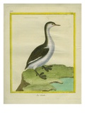 Western Grebe Reproduction procédé giclée par Georges-Louis Buffon
