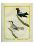 White-Bearded Manakin and Red-Capped Manakin Giclee Print by Georges-Louis Buffon
