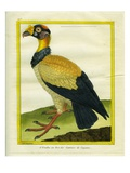 King Vulture Giclee Print by Georges-Louis Buffon