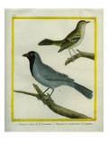 Olive-Green Tanager and Black-Chinned Antbird Giclee Print by Georges-Louis Buffon