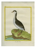 Clark's Grebe Reproduction procédé giclée par Georges-Louis Buffon
