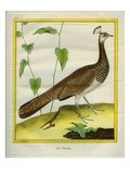 Peahen Giclee Print by Georges-Louis Buffon