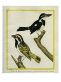 And Crested Barbet Giclee Print by Georges-Louis Buffon