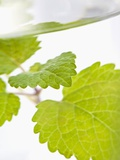 Lemon Balm in a Glass of Water Photographic Print by Martina Schindler