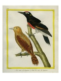 Spot-Breasted Woodpecker and Red-Bellied Woodpecker Giclee Print by Georges-Louis Buffon