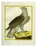 Northern Goshawk Giclee Print by Georges-Louis Buffon