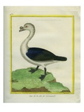 Black-Backed Goose Giclee Print by Georges-Louis Buffon