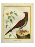 Pheasant Cuckoo Giclee Print by Georges-Louis Buffon