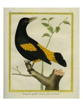 Yellow-Rumped Marshbird Giclee Print by Georges-Louis Buffon