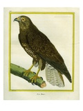 Hawk Giclee Print by Georges-Louis Buffon
