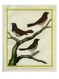 Grosbeak Myna and Java Grosbeak Reproduction procédé giclée par Georges-Louis Buffon