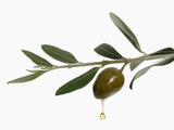 Olive Oil Dripping from Olive on Branch Photographic Print by  Kröger & Gross