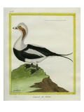 Long-Tailed Duck Giclee Print by Georges-Louis Buffon