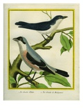 Lesser Grey Shrike and Masked Shrike Reproduction procédé giclée par Georges-Louis Buffon