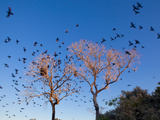 Brazil, Mato Grosso Do Sul, Neotropic Cormorants Flying Away from a Tree in the Southern Pantanal C Photographic Print by Alex Robinson