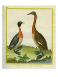Great Grebe and Horned Grebe Reproduction procédé giclée par Georges-Louis Buffon