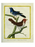 Blue-Grey Tanager and Brown Tanager Giclee Print by Georges-Louis Buffon
