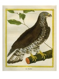 European Honey Buzzard Reproduction procédé giclée par Georges-Louis Buffon