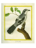 Shrike Giclee Print by Georges-Louis Buffon
